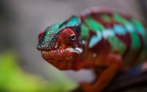 animals, macro, chameleons, nature, colorful