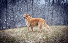 snow, winter, golden retrievers, dog, animals