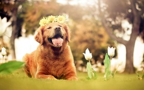 nature, dog, open mouth, golden retrievers, tulips, flowers