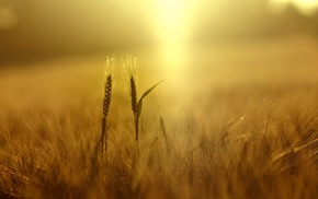 spikelets, nature, sunlight, yellow, plants, wheat