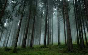 mist, trees, forest, pine trees, grass, nature