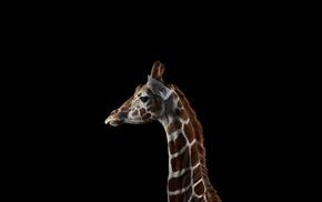 photography, giraffes, simple background, mammals