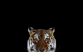 photography, simple background, mammals, big cats, cat, tiger