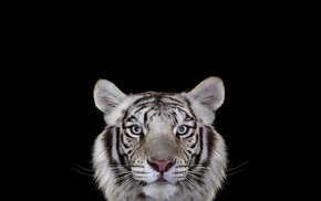 tiger, white tigers, big cats, photography, simple background, cat