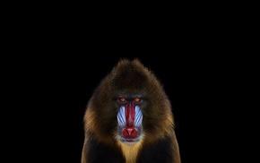 Mandrill, mammals, simple background, monkeys, photography