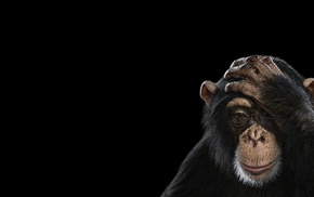 photography, monkeys, simple background, chimpanzees, mammals