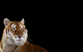 big cats, tiger, mammals, simple background, cat, photography