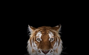 photography, big cats, simple background, tiger
