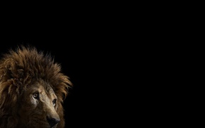 lion, mammals, cat, photography, big cats, simple background