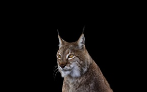 simple background, mammals, photography, lynx, cat