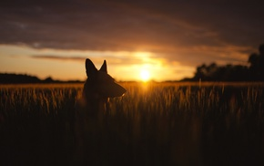 sunset, wheat, flag, silhouette, nature, dog