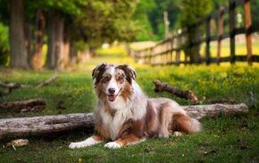 Australian Shepherd, dog, grass, depth of field, nature, animals