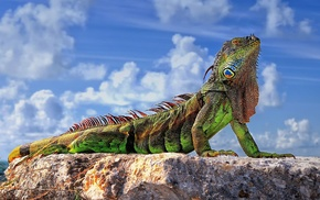 iguana, animals, colorful, closeup, sunlight, rock