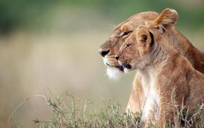 depth of field, animals, big cats, lion, wildlife, baby animals