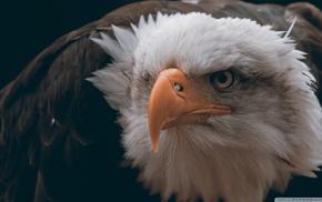 feathers, freedom, bald eagle, birds, eagle, animals
