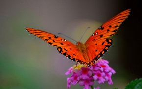 butterfly, nature, macro, flowers