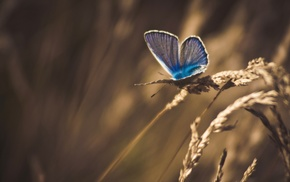 macro, animals, insect, butterfly, wheat, nature