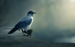 crow, birds