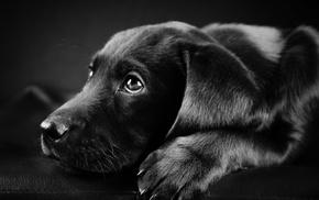 face, animals, black, Labrador Retriever, black background, closeup