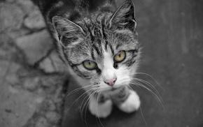 feline, selective coloring, cat, monochrome, eyes