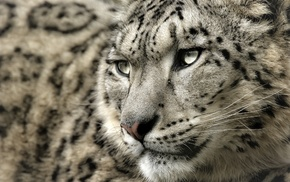 snow leopards, leopard