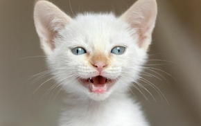 kittens, open mouth, blue eyes, feline, closeup, cat
