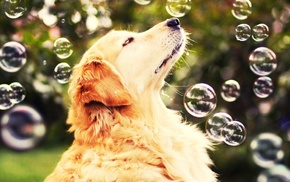 dog, golden retrievers, bubbles, nature, animals
