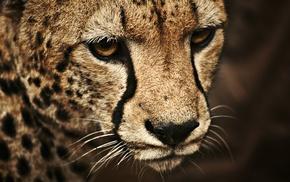 animals, cheetahs
