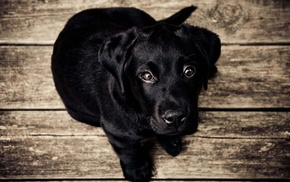 dog, black, animals, Labrador Retriever, puppies, baby animals