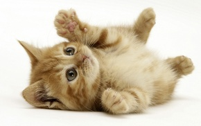 animals, baby animals, kittens, white background, cat