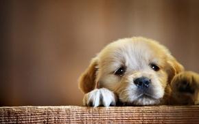 puppies, dog, animals