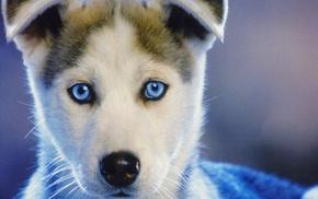 blue eyes, face, closeup, dog, animals, nature