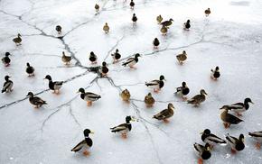 frozen lake, lake, animals, nature, ice, birds