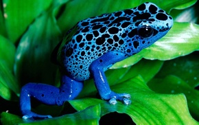 animals, poison dart frogs, frog, nature