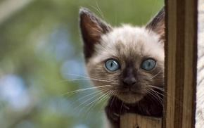 Siamese cats, cat, animals, blue eyes, kittens