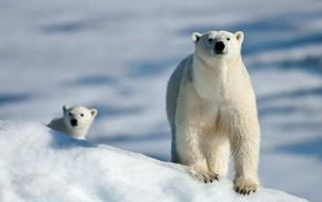 polar bears, snow, animals