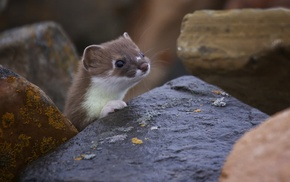 Least Weasel, ferret, nature, animals