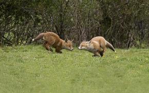 fox, nature, animals
