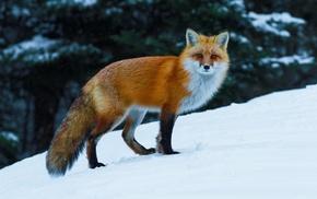animals, nature, wildlife, fox, snow
