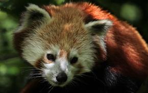 nature, animals, red panda