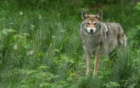 nature, animals, coyote
