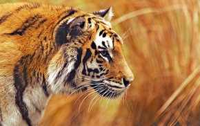 photography, tiger, animals, big cats