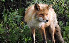 fox, animals