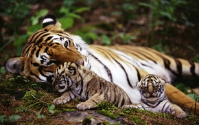 tiger, nature, animals