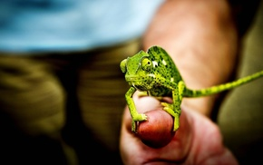 chameleons, nature, animals