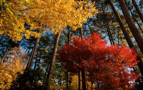 landscape, morning, nature, trees, maple leaves, red