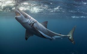 shark, underwater, Great White Shark, animals