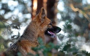 dog, depth of field, nature, bokeh, German Shepherd, animals
