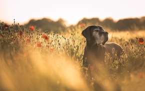 animals, red flowers, field, poppies, flowers, dog