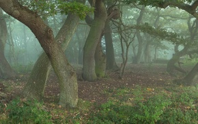 trees, plants, nature, mist, wood, forest